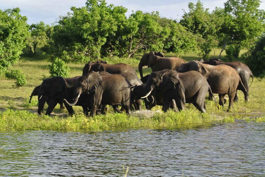 Elefantenherde am Chobe River - siehe Video auf Youtube