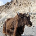 Yak in Tibet am Base Camp