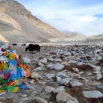 Yaks am Mount Everest Base Camp