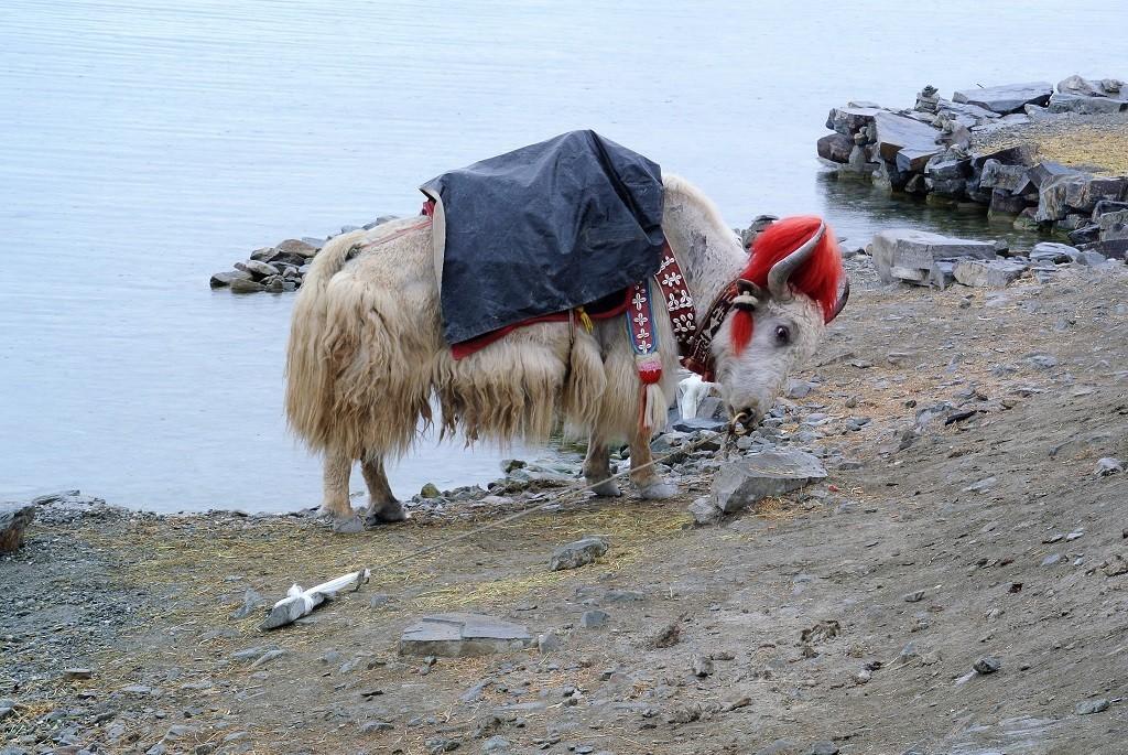 Ein Yak frisst am See