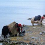 Yak bei der Fütterung am Yamdrok Tso See