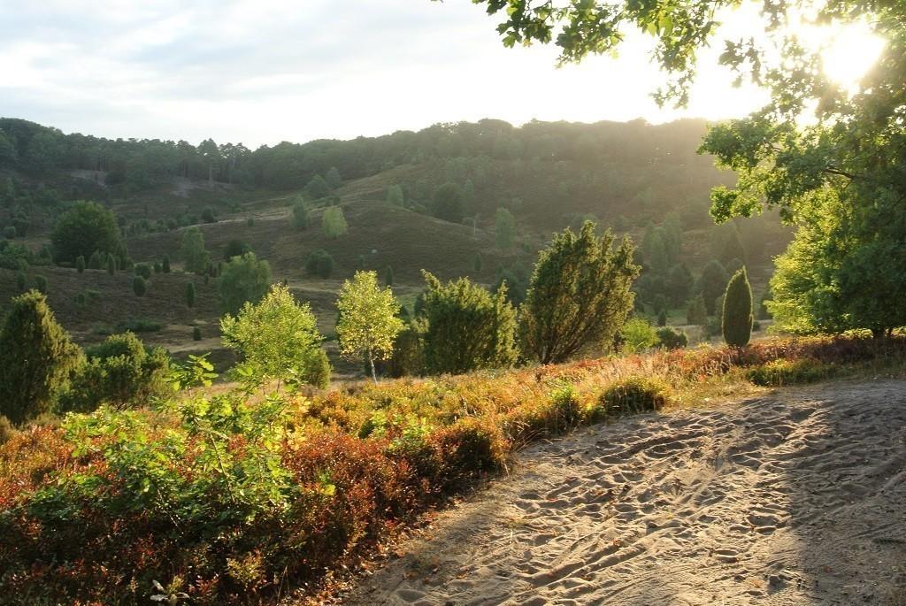Waldbaden: Heide blüht in der Sonne