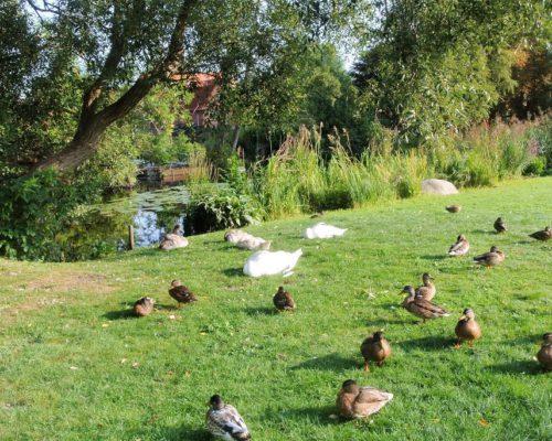 Enten und Schwäne im Kurpark