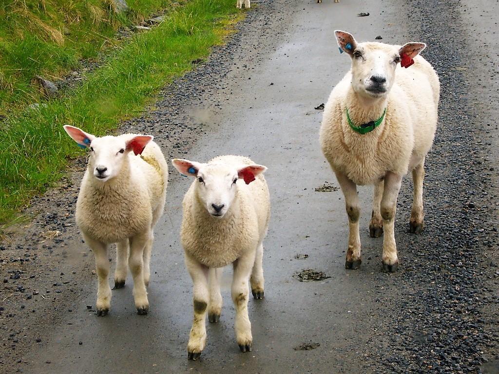 Schafe auf der Straße in Norwegen