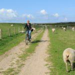 Radfahren vorbei an Schafsherden