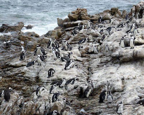 Pinguine überall