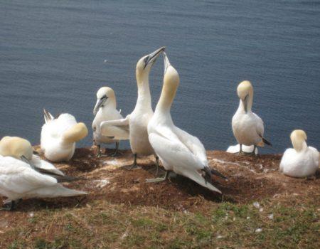 Vögel auf Helgoland