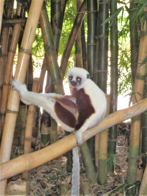 Lemur in Ambatomirahavavy