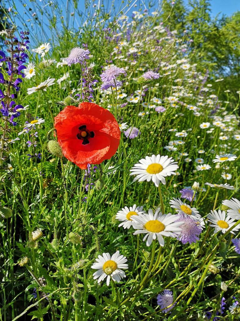 Blumenwiese im Nordschwarzwald