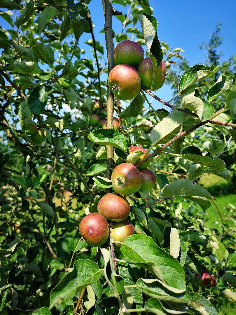 Äpfelbäume im Alten Land